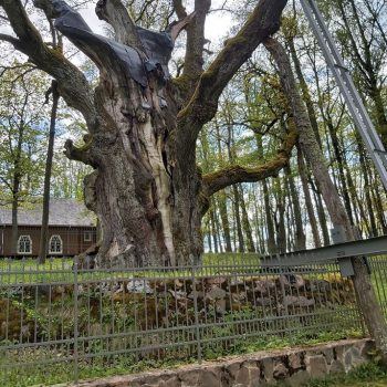 Stelmužės ąžuolas – gamtos paminklas